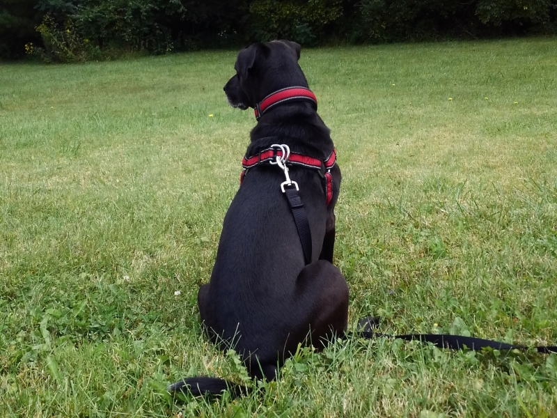 The said Labrador Retriever.