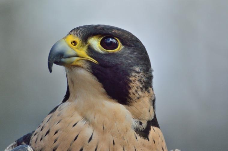 peregrine-falcon-371610_1280.jpg